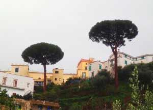 Pini secolari a Seiano (foto WWF)