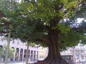 Milano: tutori per salvare i rami