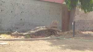 Carrubo morto foto di ViC